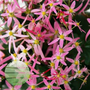 Walter Blom Plants Saxifraga Kumiko