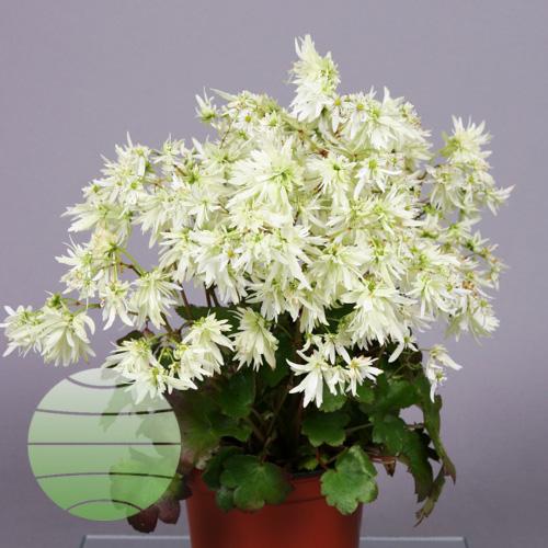 Walter Blom Plants Saxifraga Hikari