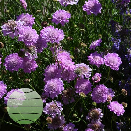 Walter Blom Plants Scabiosa columbaria Pink Mist