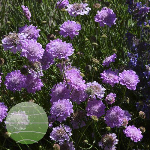 Walter Blom Plants Scabiosa incisa Kudo Pink