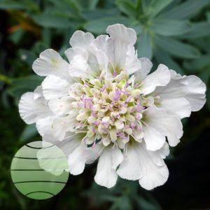 Walter Blom Plants Scabious Kudo White