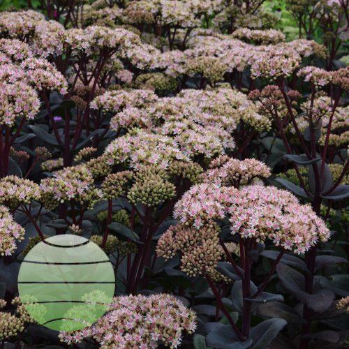 Walter Blom Plants Sedum Matrona
