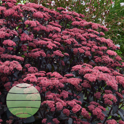 Walter Blom Plants Sedum Purple Emperor