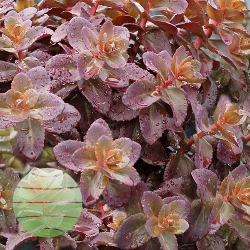 Walter Blom Plants Sedum Cherry Truffle