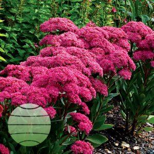 Walter Blom Plants Sedum Mr Goodbud