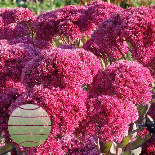 Walter Blom Plants Sedum Thunderhead