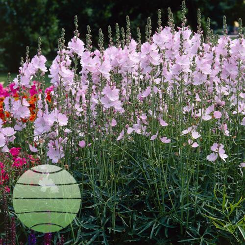 Walter Blom Plants Sidalcea Elsie Heugh