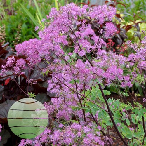 Walter Blom Plants Thalictrum Black Stockings