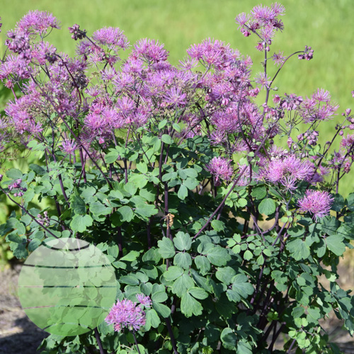 Thalictrum aquil My Little Favourite