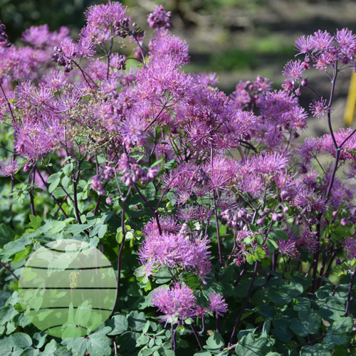 Walter Blom Plants Thalictrum aquil My Little Favourite