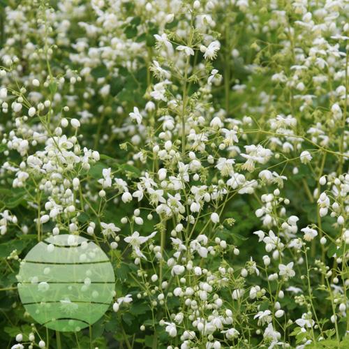 Walter Blom Plants Thalictrum delavayii Album