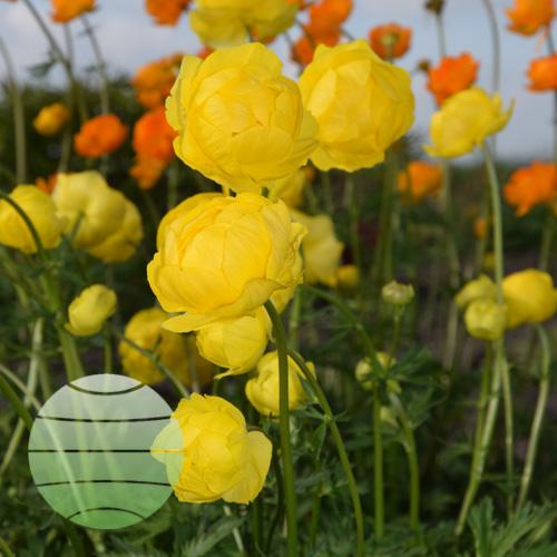 Walter Blom Plants Trollius Lemon Queen