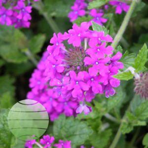 Walter Blom Plants Verbena HomesteadPurple