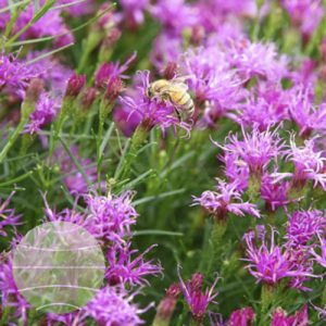 Walter Blom Plants Vernonia lettermannii Iron Butterfly