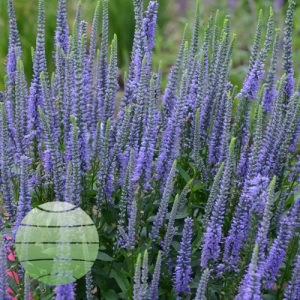 Walter Blom Plants Veronica Blue Skywalker