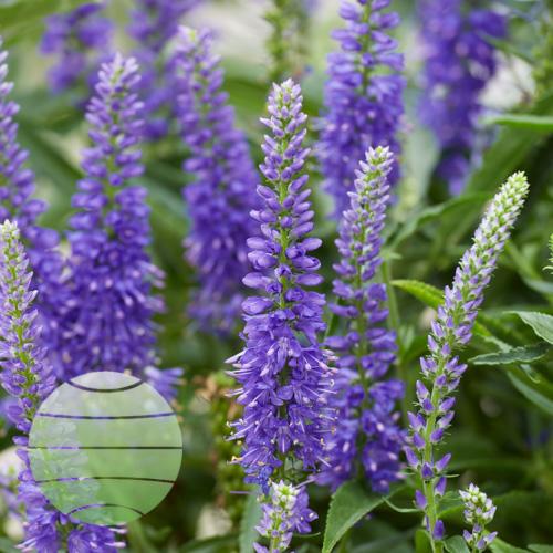 Walter Blom Plants Veronica Mauve Moody Blues