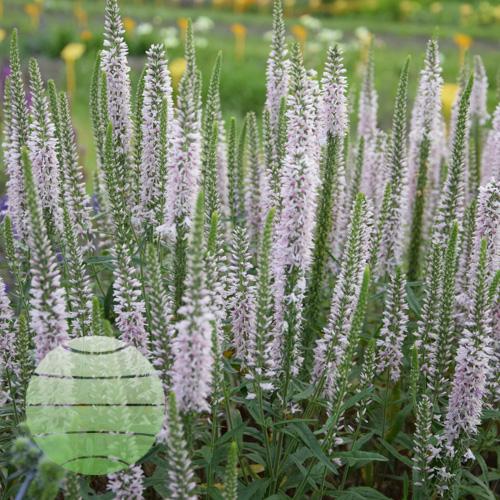 Walter Blom Plants Veronica Moody Blues Pink