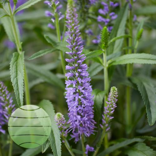 Walter Blom Plants Veronica Moody Blues Sky Blue