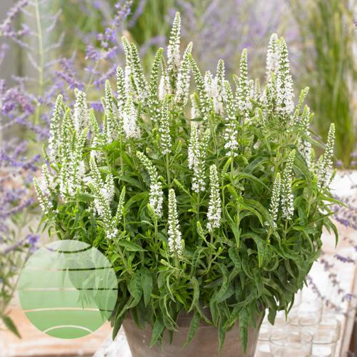 Walter Blom Plants Veronica Moody Blues White