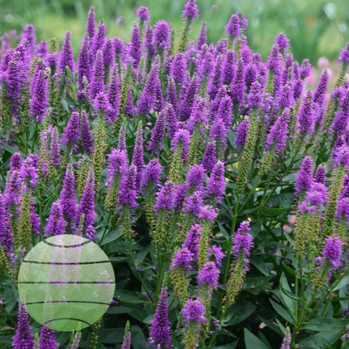 Walter Blom Plants Veronica Very Van Gogh