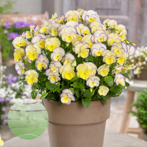 Walter Blom Plants Viola Etain