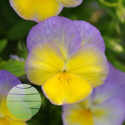 Walter Blom Plants Viola Halo Lemon Frost