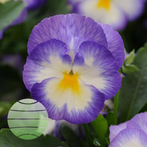 Walter Blom Plants Viola Halo Lilac