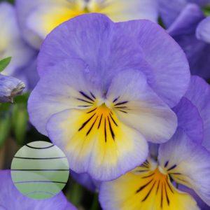 Walter Blom Plants Viola Halo Sky Blue