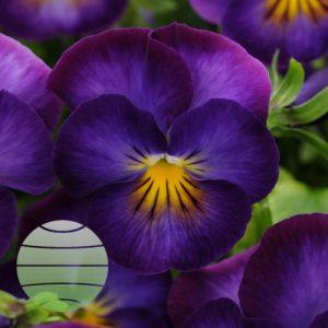 Walter Blom Plants Viola Halo Violet