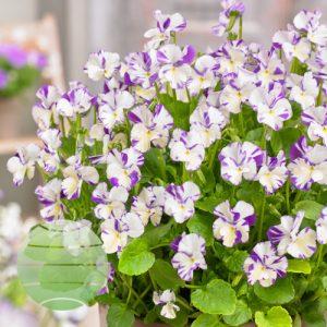 Walter Blom Plants Viola Rebecca Cawthorne