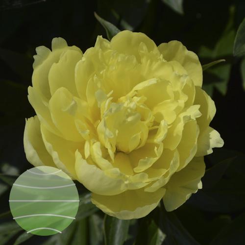 Walter Blom Plants Paeonia Yellow Doodle Dandy