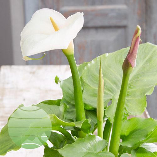 Walter Blom Plants Zantedeschia Little Egret