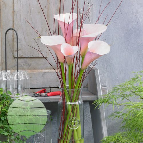 Walter Blom Plants Zantedeschia aethiopica Flamingo