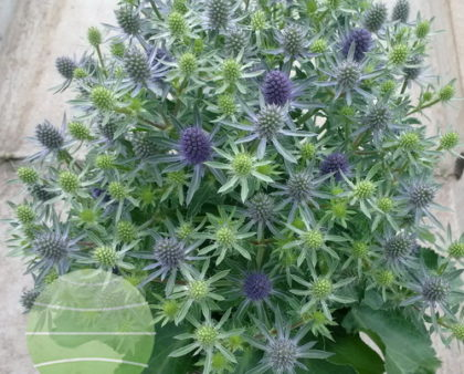 eryngium magical blue globe wins gold walter blom plants b v