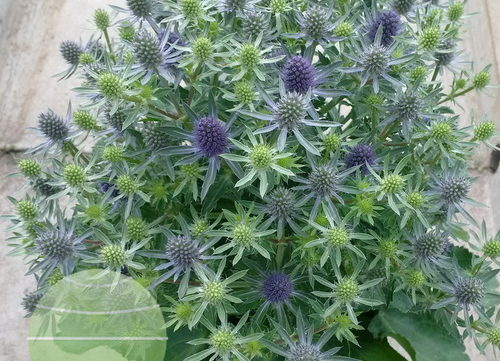 Eryngium Magical Blue Globe wins Gold!