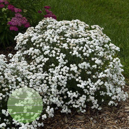 Walter-Blom-Plants-Achillea-Walters-Gardens-Peter-Cottontail