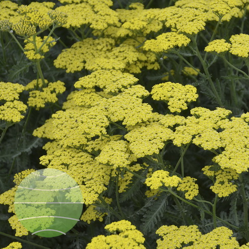 Walter Blom Plants-Walters Gardens-Achillea-Sassy-Summer-Lemon