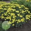 Achillea Sassy Summer Lemon 2