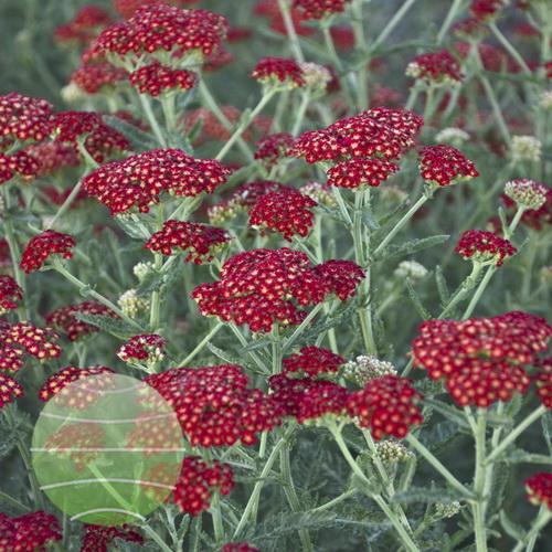 Walter Blom Plants-Walters Gardens-Sassy-Summer-Sangria