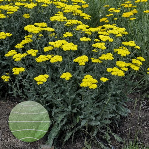 Walter Blom Plants-Walters Gardens-Achillea-Sassy-Summer-Silver