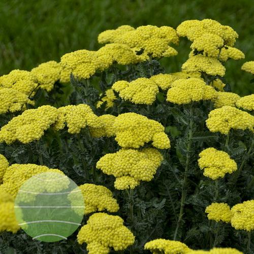 Walter Blom Plants-Walters Gardens- Achillea-Sassy-Summer-Silver