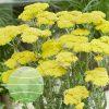 Achillea millefolium Sassy Summer Silver