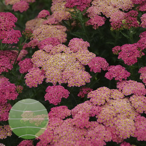 Walter Blom Plants-Walters Gardens-Achillea-Sassy-Summer-Taffy