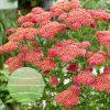 Achillea millefolium Sassy Summer Taffy