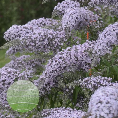 Walter Blom Plants-Bujddleja-Grand-Cascade-Walters-Gardenss