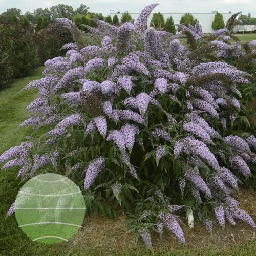 Walter Blom Plants-Buddleja-Walters Gardens-Grand-Cascade