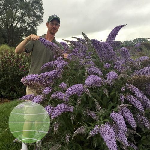 Walter Blom Plants-Buddleja-Grand-Cascade-Walters-Gardens