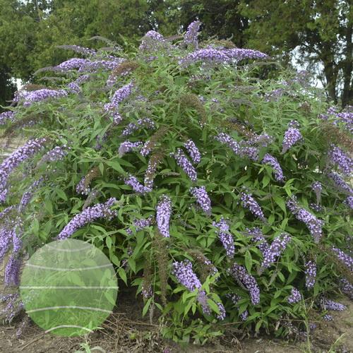 Walter Blom Plants-Buddleja-Walters-Gardens-Lavender-Cascade