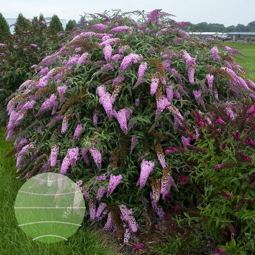 Walter-Blom-Plants-Buddleja-Walters-Gardens-Pink-Cascade