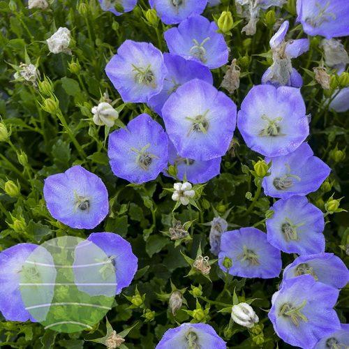 Walter Blom Plants-Walters Gardens-Campanula-carepatica-Delft-Teacups